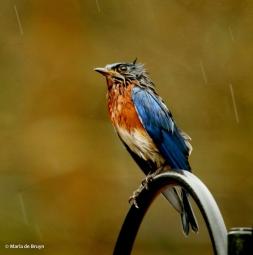 Eastern bluebird I77A9717© Maria de Bruyn res