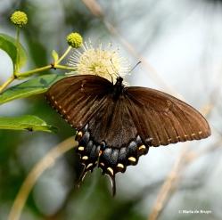 Eastern tiger swallowtail DK7A0256© Maria de Bruyn res