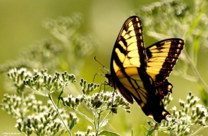 Eastern tiger swallowtail DK7A2096© Maria de Bruyn res