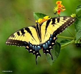 Eastern tiger swallowtail DK7A7768© Maria de Bruyn res
