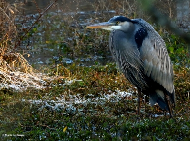 Great blue heron I77A1220© Maria de Bruyn res