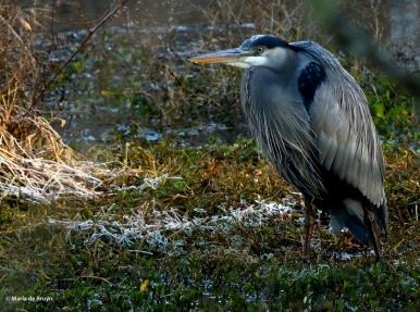 Great blue heron I77A1220© Maria de Bruyn res