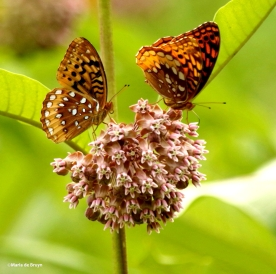 Great spangled fritillary DK7A5052© Maria de Bruyn res