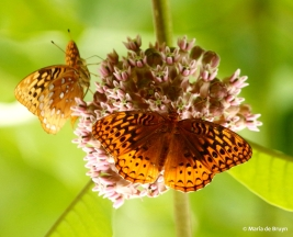 great spangled fritillary DK7A5377© Maria de Bruyn res