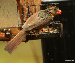 Northern cardinal I77A9734© Maria de Bruyn res