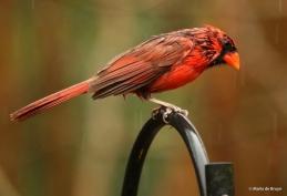 Northern cardinal I77A9870© Maria de Bruyn res