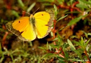 Orange sulphur DK7A0476© Maria de Bruyn res