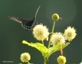 Pipevine swallowtail DK7A9681© Maria de Bruyn res