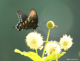Pipevine swallowtail DK7A9691© Maria de Bruyn