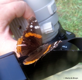 red admiral IMG_4767© Maria de Bruyn res