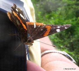 red admiral IMG_4769© Maria de Bruyn