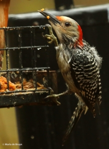 Red-bellied woodpecker I77A9724© Maria de Bruyn res