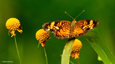 silvery checkerspot DK7A1405© Maria de Bruyn res