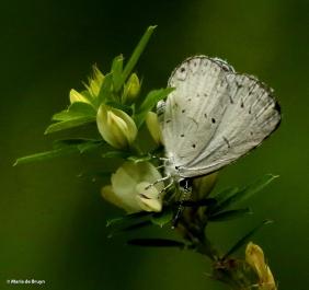 Summer azure DK7A5424© Maria de Bruyn