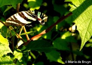 Zebra swallowtail DK7A0046© Maria de Bruyn res
