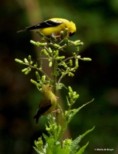 American goldfinch DK7A1355© Maria de Bruyn SIGNED RES