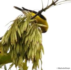 American goldfinch DK7A5026© Maria de Bruyn signed