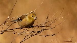 American goldfinch I77A2510© Maria de Bruyn res