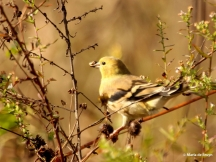American goldfinch IMG_7947© Maria de Bruyn signed res