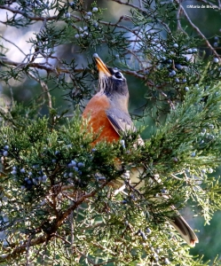 American robin I77A0801©Maria de Bruyn res