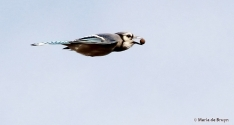 blue jay IMG_7806© Maria de Bruyn signed