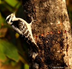 downy woodpecker I77A7912© Maria de Bruyn