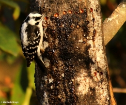 downy woodpecker I77A7921© Maria de Bruyn res