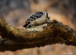 downy woodpecker I77A8006© Maria de Bruyn