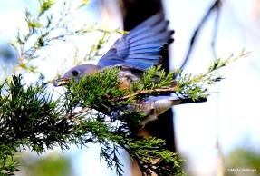 Eastern bluebird I77A0913©Maria de Bruyn res