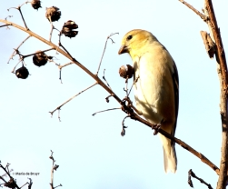 goldfinch I77A2097© Maria de Bruyn res