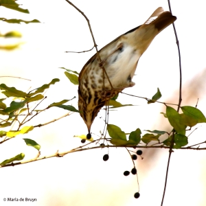 hermit thrush I77A5816© Maria de Bruyn signed res
