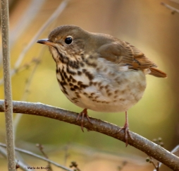 hermit thrush I77A7788© Maria de Bruyn res
