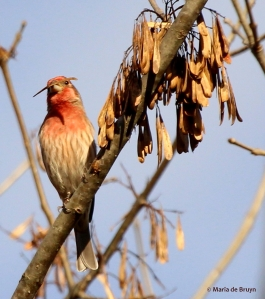 House finch IMG_7718© Maria de Bruyn signed