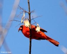 Northern cardinal I77A2153© Maria de Bruyn res