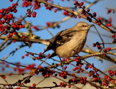 Northern mockingbird I77A7737© Maria de Bruyn res