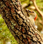 red-bellied woodpecker IMG_5780© Maria de Bruyn (2)
