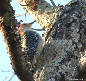 red-bellied wooodpecker I77A8234© Maria de Bruyn