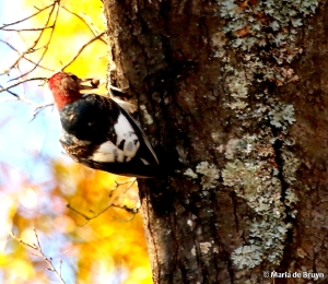 red-headed woodpecker I77A5149© Maria de Bruyn res