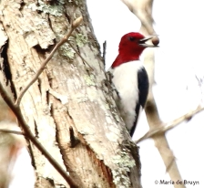 Red-headed woodpecker I77A7844© Maria de Bruyn signed