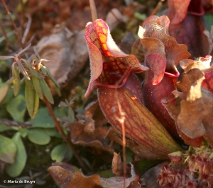 Southern purple pitcher plant I77A8081© Maria de Bruyn res