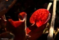 Southern purple pitcher plant I77A8086© Maria de Bruyn
