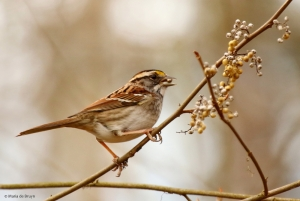 white-throated sparrow I77A8188© Maria de Bruyn 2 res