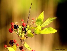 wild blackberryIMG_2588©Maria de Bruyn res