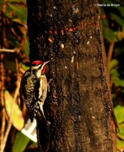 yellow-bellied sapsucker I77A7854© Maria de Bruyn res