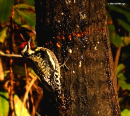yellow-bellied sapsucker I77A7858© Maria de Bruyn res