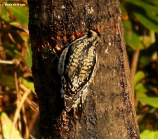 yellow-bellied sapsucker I77A7860© Maria de Bruyn res