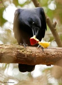 American crow DK7A4616© Maria de Bruyn res
