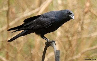 American crow DK7A7017©Maria de Bruyn res