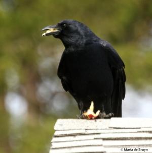 American crow DK7A7321©Maria de Bruyn res