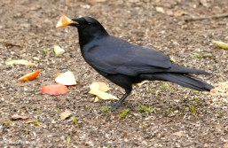 American crow DK7A7423©Maria de Bruyn res